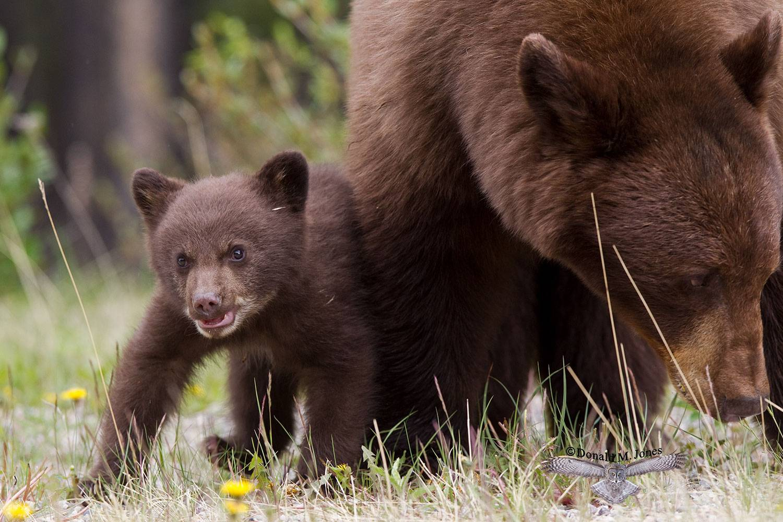 Black-Bear06033D