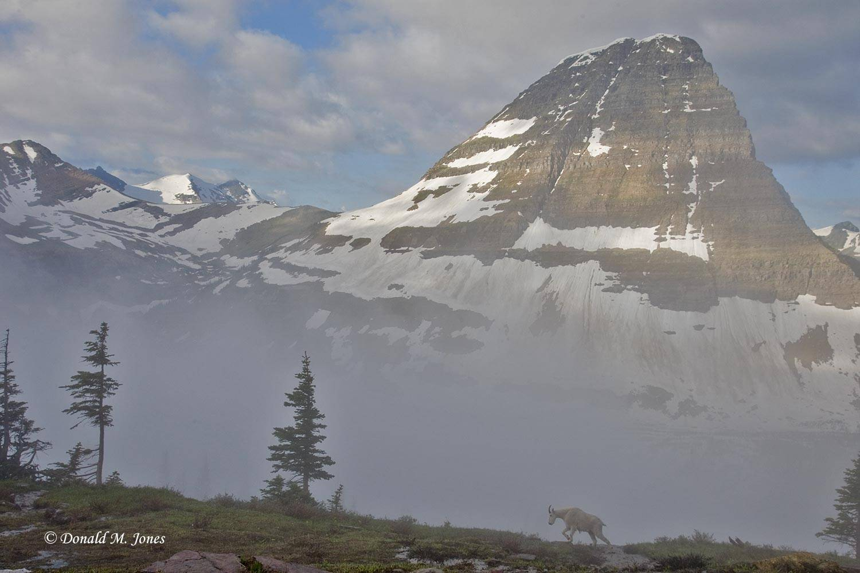 Mountain-Goat02018D