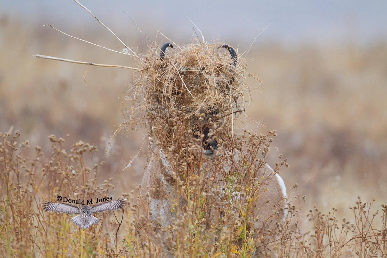 Pronghorn-Antelope03982D