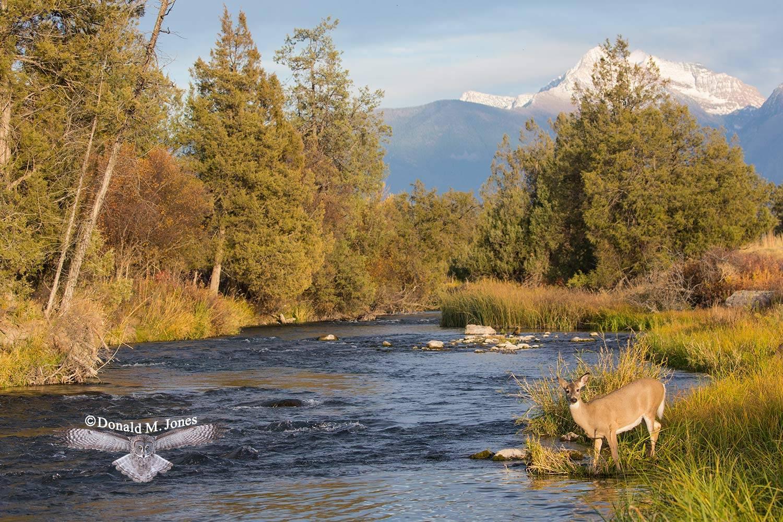 Whitetail-Deer55650D