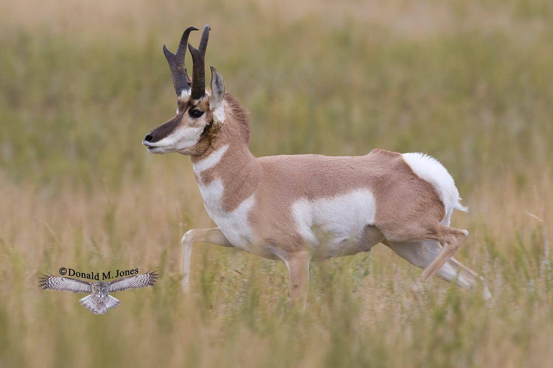 Pronghorn-Antelope03159D