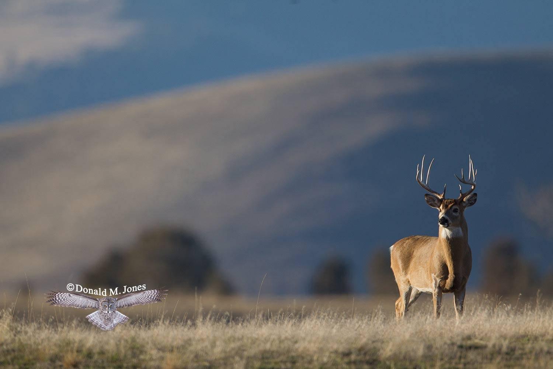 Whitetail-Deer51616D