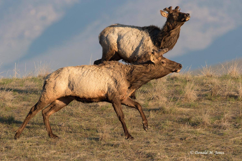Elk-(Rocky-Mtn)25467D