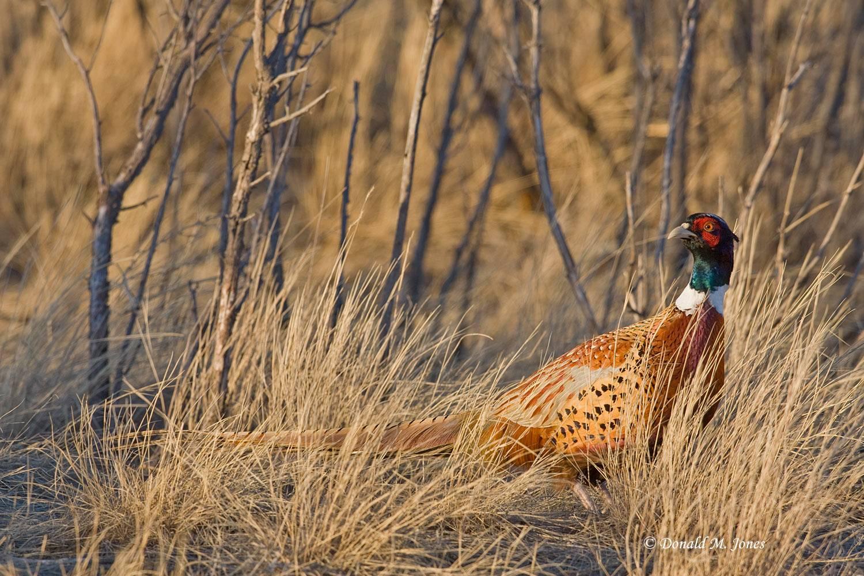 Ring-neck-Pheasant0347D