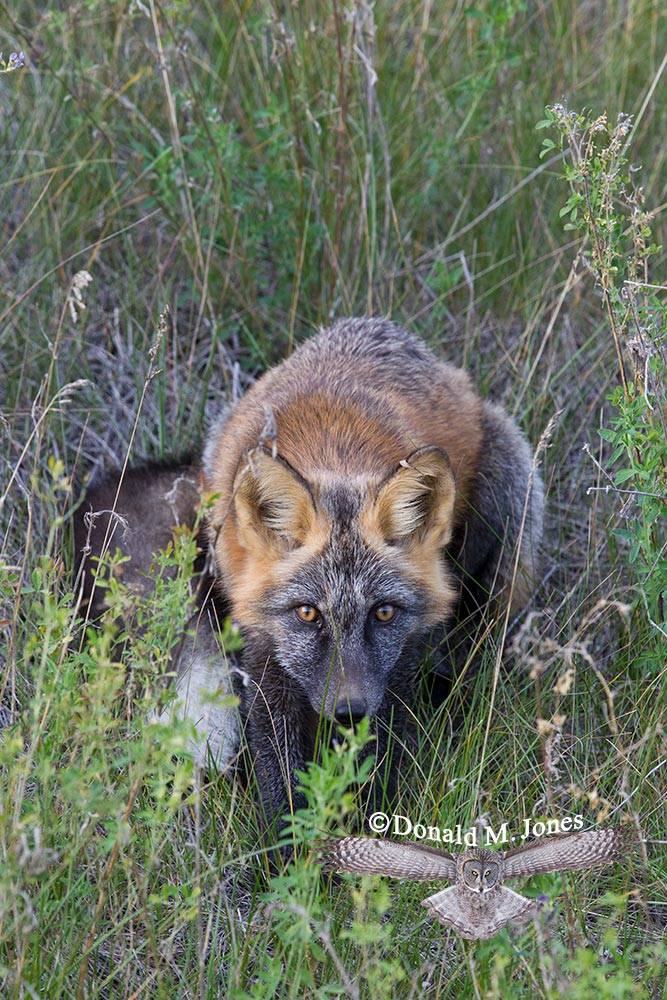 Red-Fox1079D