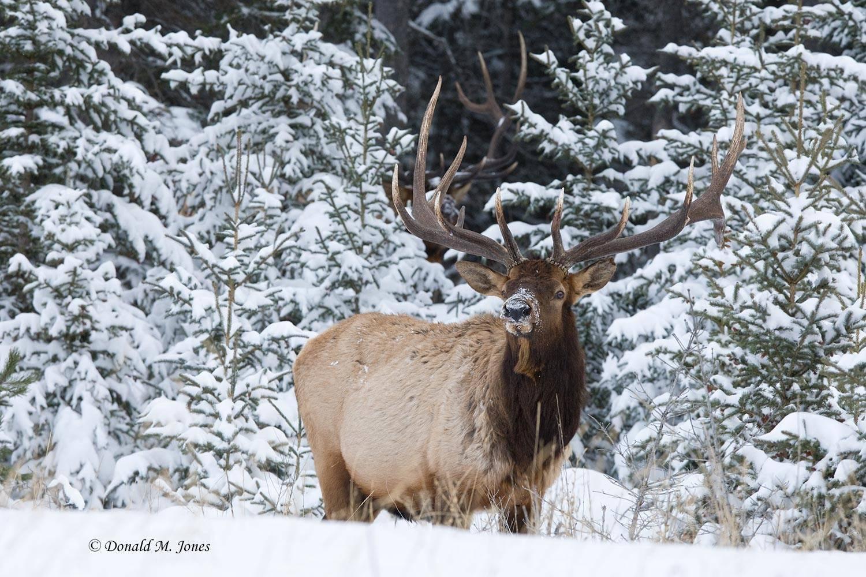 Elk-(Rocky-Mtn)14674D