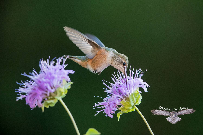 Rufus-Hummingbird0664D