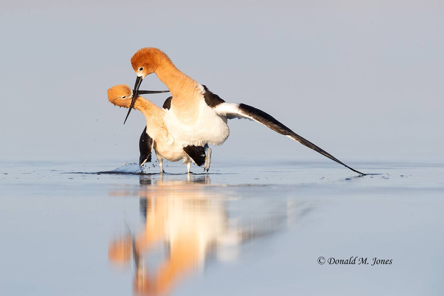 May 14, American Avocet Breeding Courtship