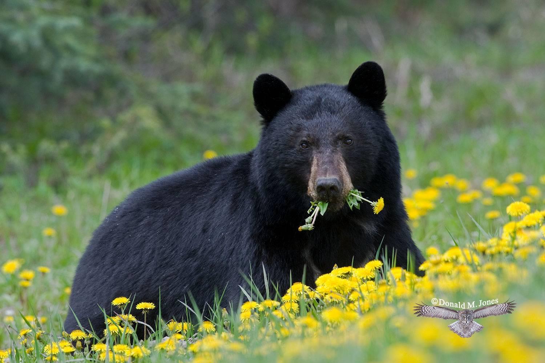 Black-Bear04185D