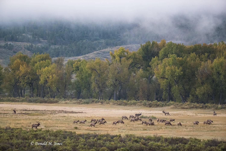 Elk-(Rocky-Mtn)23198D