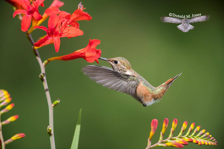 Rufus-Hummingbird0575D