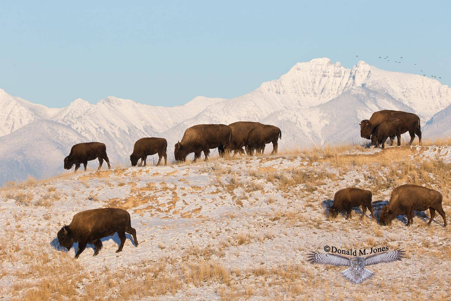 American-Bison01872D
