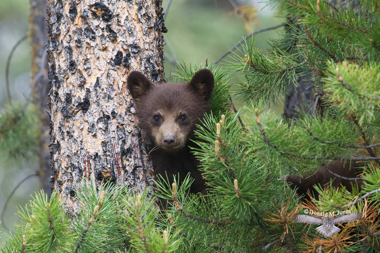 Black-Bear05533D