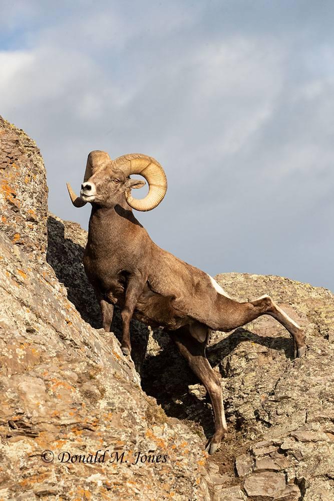 Bighorn-Sheep06343D