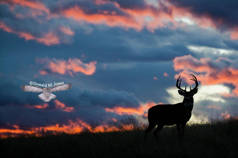 Whitetail-Deer57012D