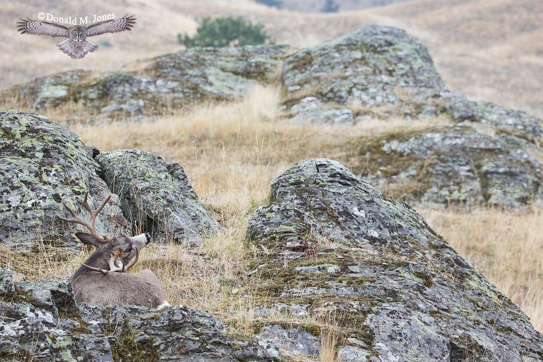 Mule-Deer09196D