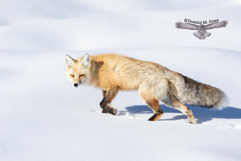 Red-Fox1287D