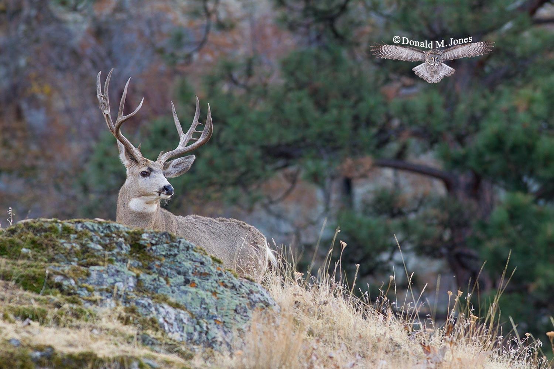 Mule-Deer08595D