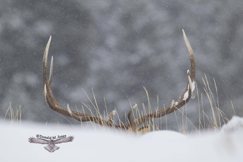 Elk-(Rocky-Mtn)15589D