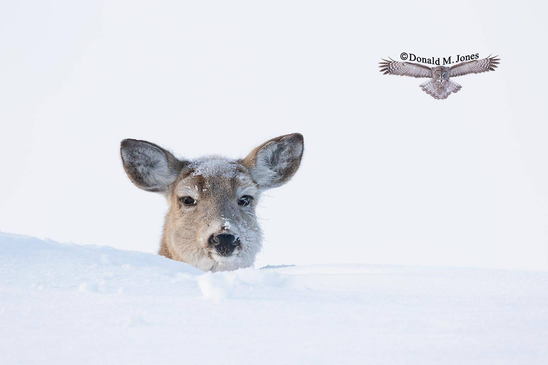 Whitetail-Deer58848D