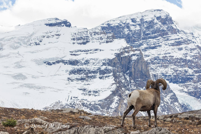 Bighorn-Sheep06627D
