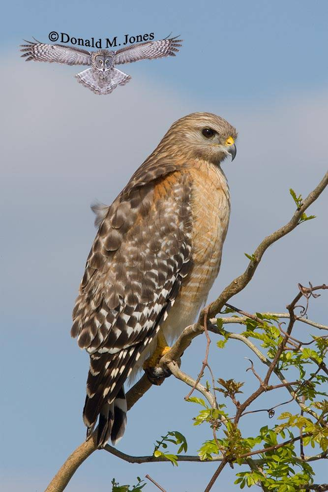 Red-shouldered-Hawk0108D