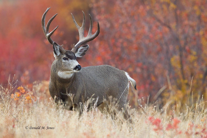 Mule-Deer08924D