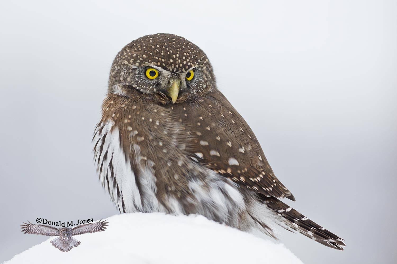 Northern-Pygmy-Owl0789D