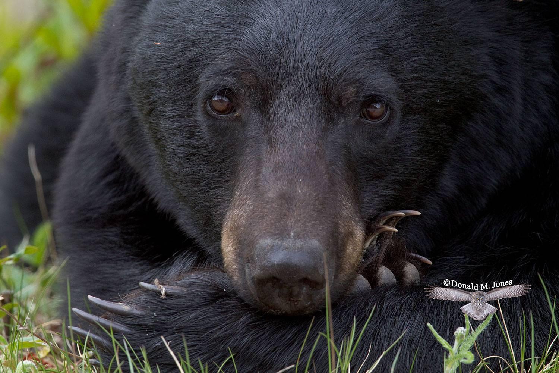 Black-Bear04966D