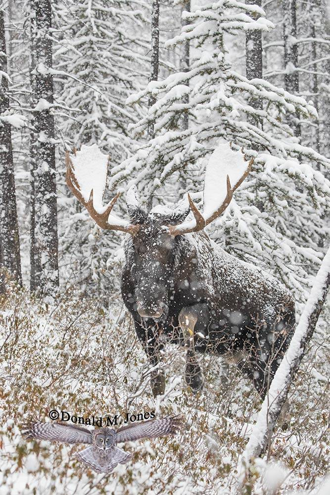 Moose06598D