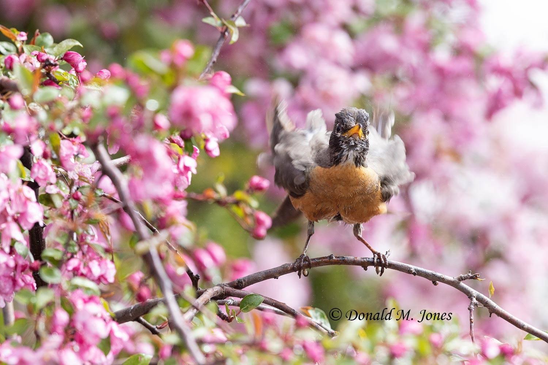 May 9 - American Robin1106D