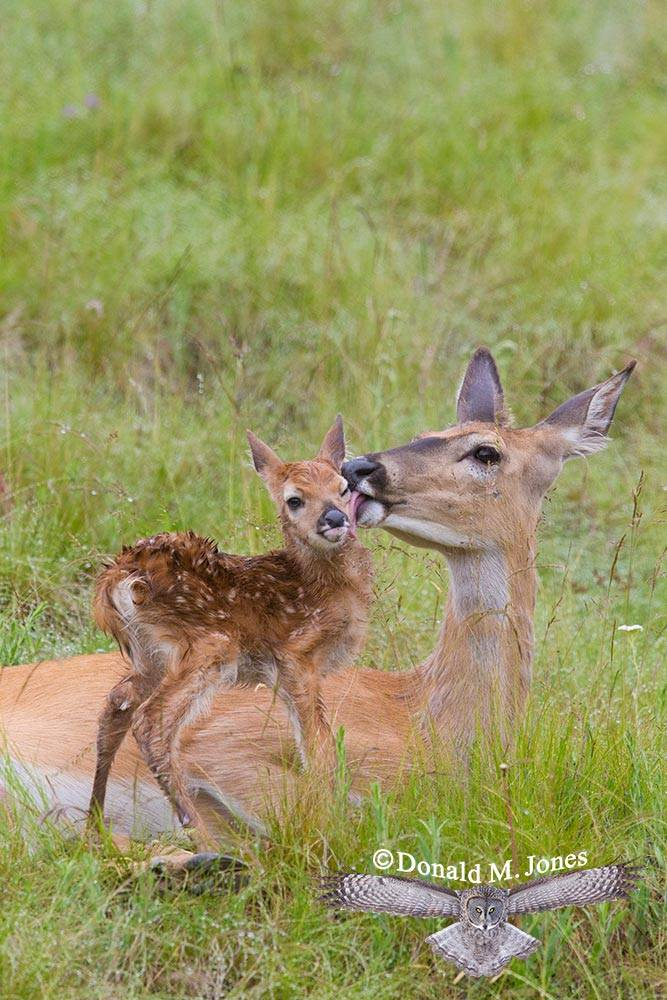 Whitetail-Deer45415D
