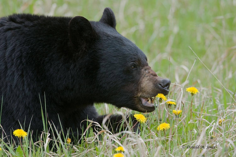 Black-Bear03807D