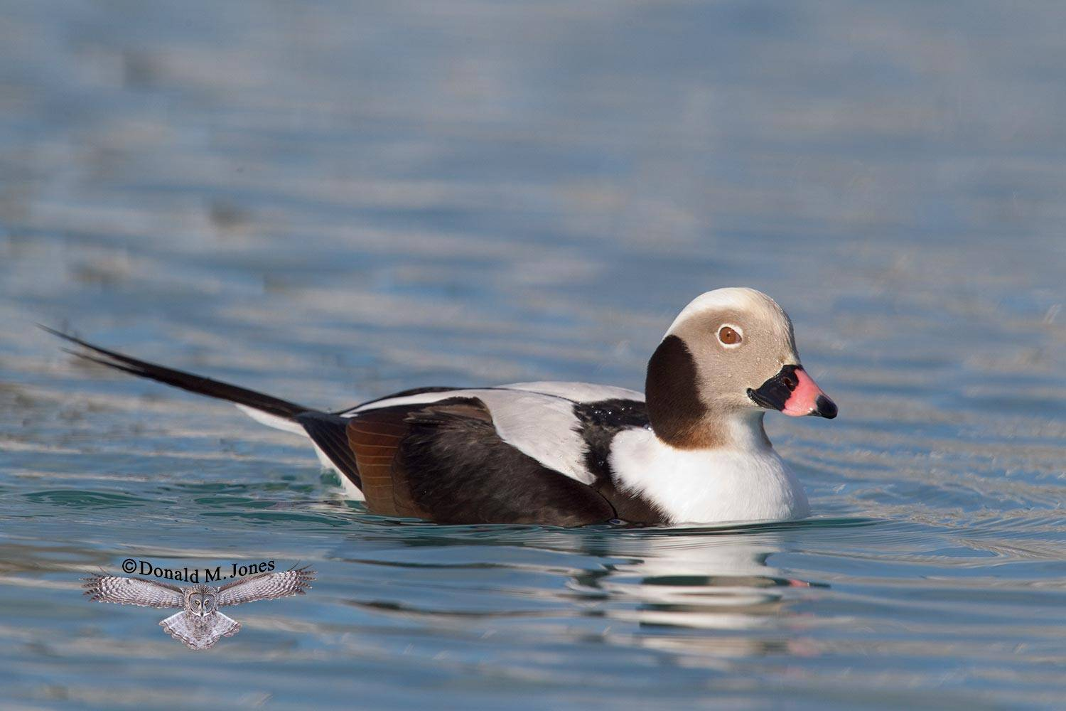Long-tailed-Duck0109D