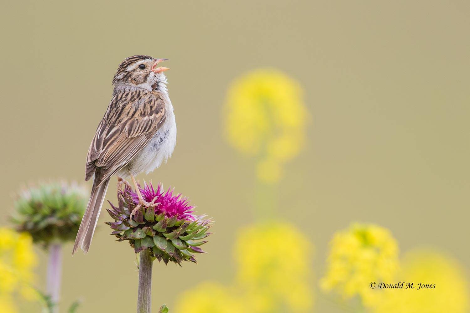 Clay-colored-Sparrow0278D