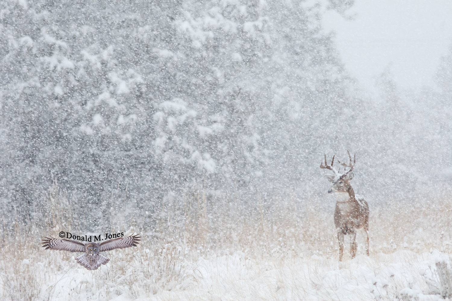 Whitetail-Deer41485D