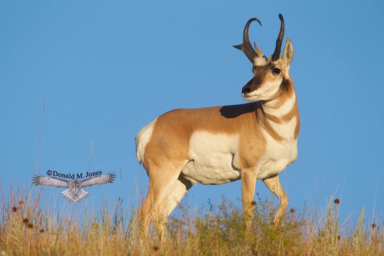 Pronghorn-Antelope03491D.jpg