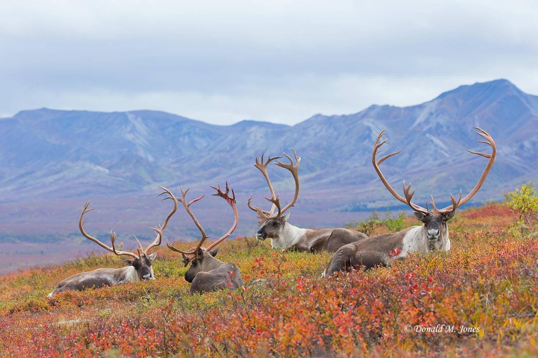 Barren-Ground-Caribou02926D