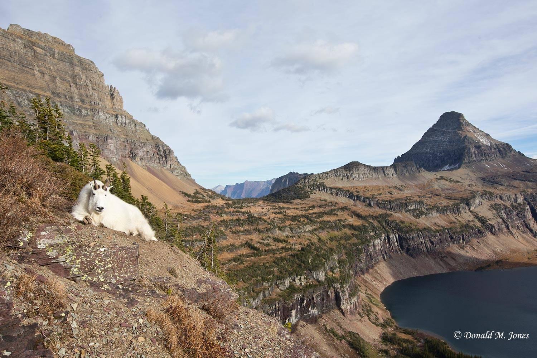 Mountain-Goat02827D