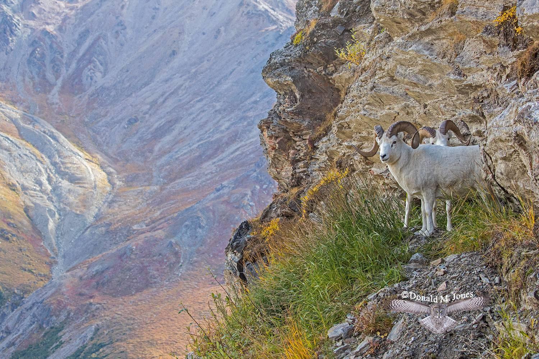 Dall-Sheep02047D