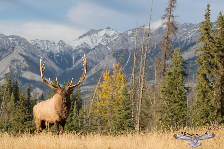 Elk-(Rocky-Mtn)24649D