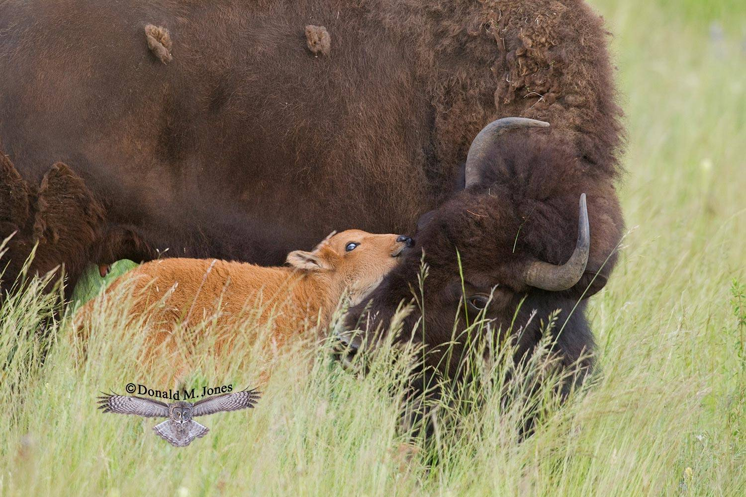 American-Bison01313D