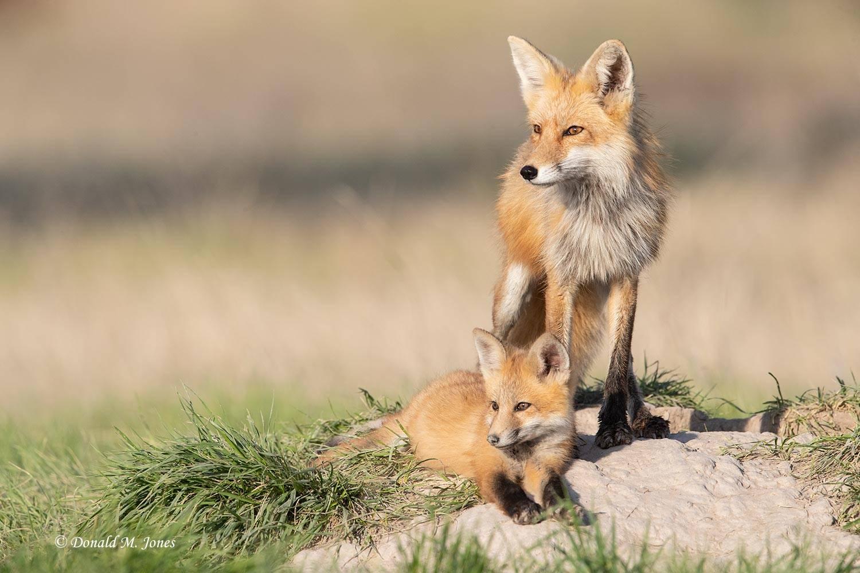Red-Fox1584D