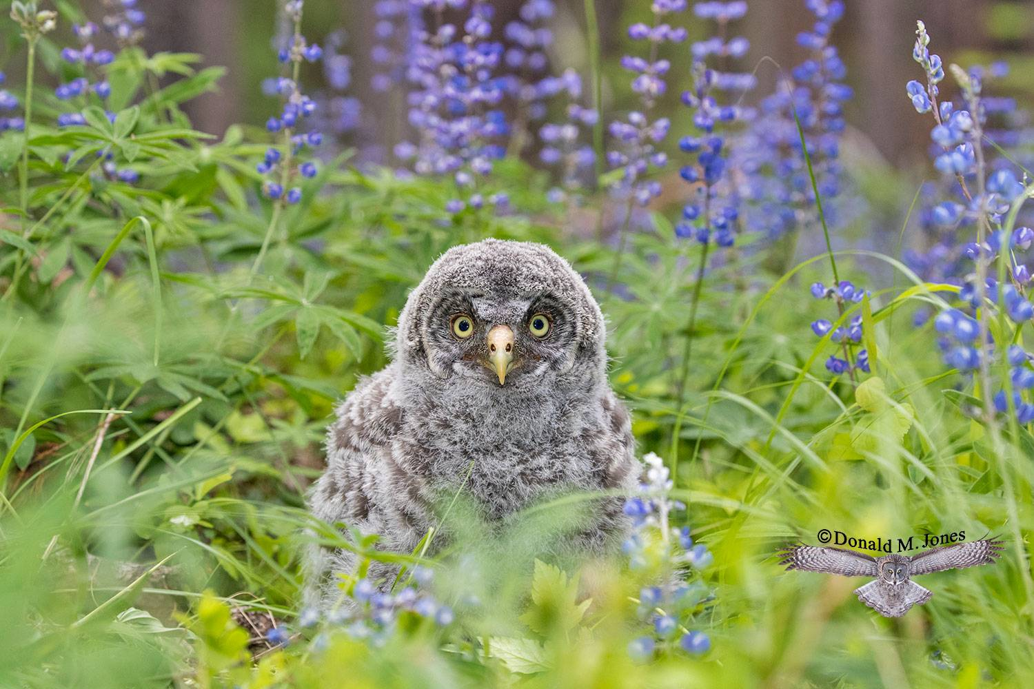 Great-Gray-Owl1190D