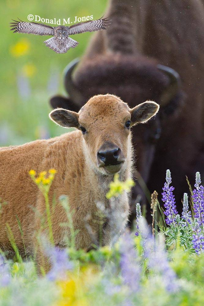 American-Bison01328D