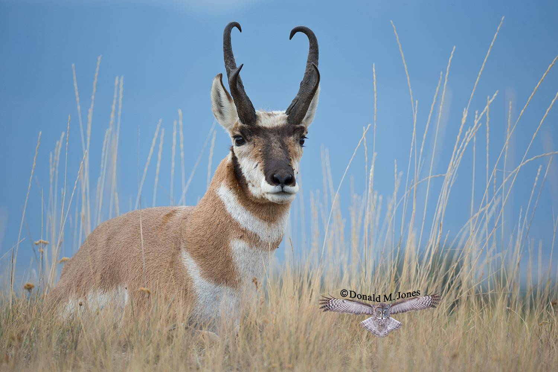 Pronghorn-Antelope04692D