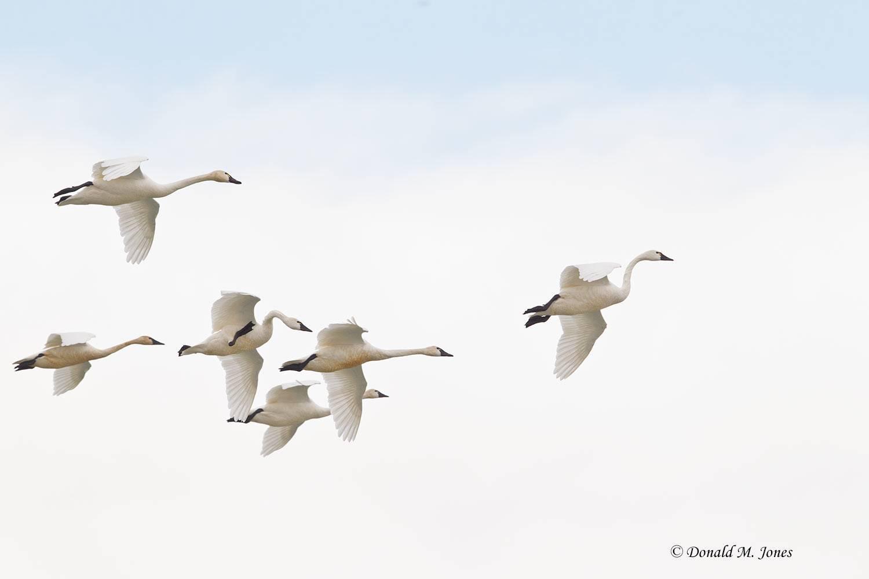 Tundra-Swan0352D
