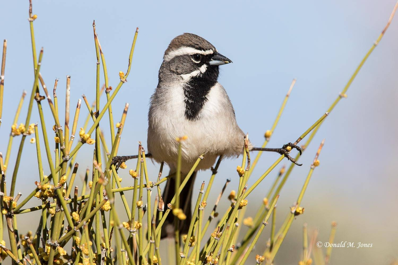 Black-throated-Sparrow0247D