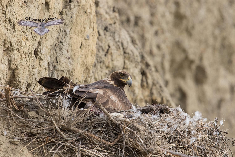 Golden-Eagle0071D
