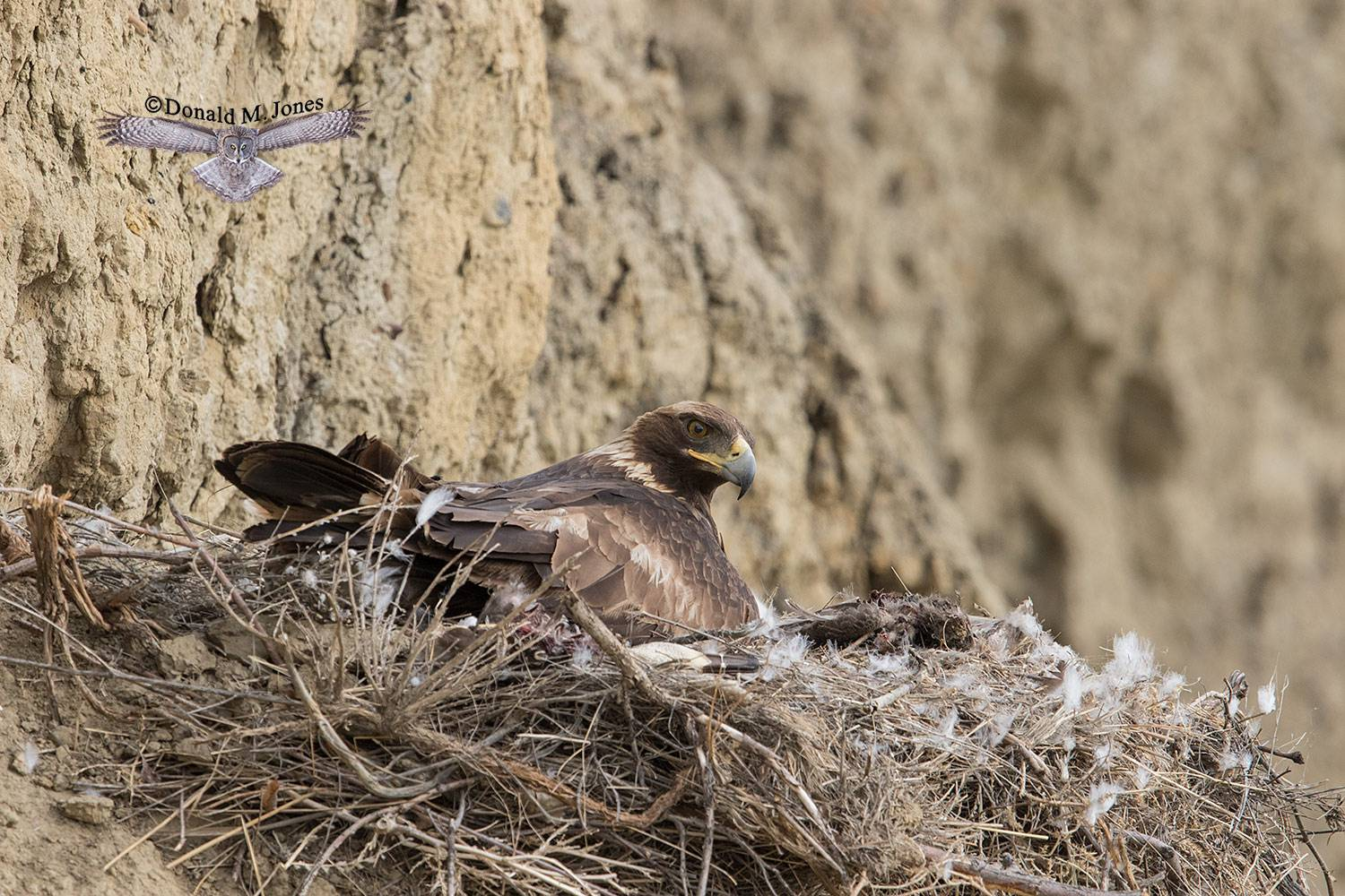 Golden-Eagle0071D